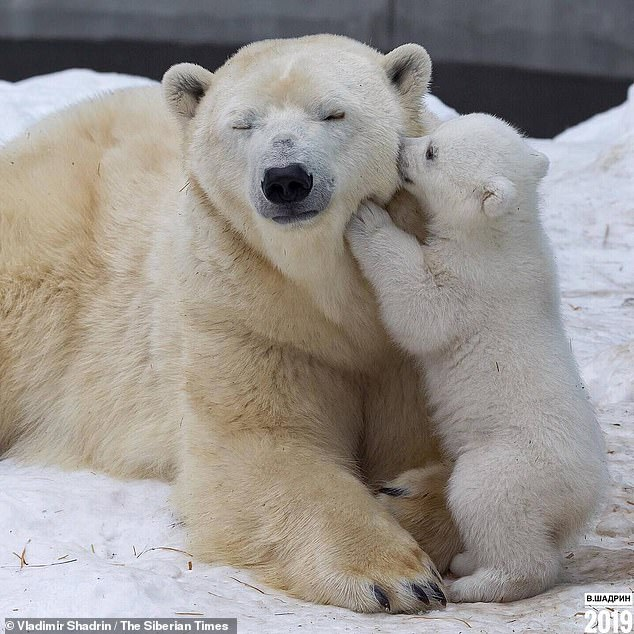 Photo Of The Day: Polar Bear Cub Appears To Be Whispering